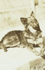While in Argentina, the Scotts acquired this dog, Chula. German Shepherds were wildly popular at the time, thanks to the international stardom of Rin Tin Tin, who starred in films from 1918 to 1932.